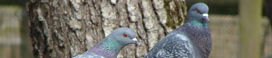 rock_pigeon