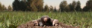 get rid of Moles, Rodents Moles Voles Control Service Port Moody Langley Su