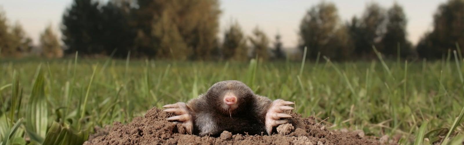 get rid of Moles, Rodents Moles Voles Control Service Port Moody Langley Surrey Vancouver