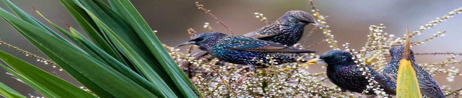 EUROPEAN STARLINGS CONTROL  SERVICE
