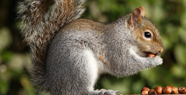 Squirrel-