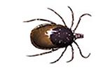 black-legged-tick