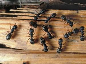 carpainter ants