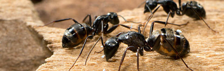 Carpenter Ants Control Port Moody, Ants removal Langley, Best pest control service in Vancouver BC, expert in Carpenter Ants removal, Pharaoh Ants removal, odorous ants control, thatching ants control