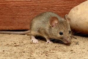 house-mouse