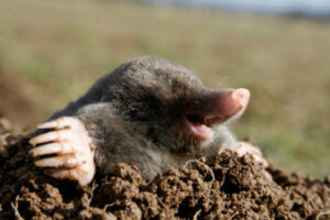 Moles, Voles, Rodent Control Service Port Moody, Langley, Vancouver