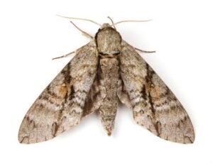 Moth Control, Moth removal service Surrey Vancouver