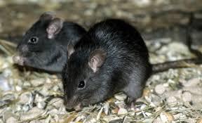 roof black rat