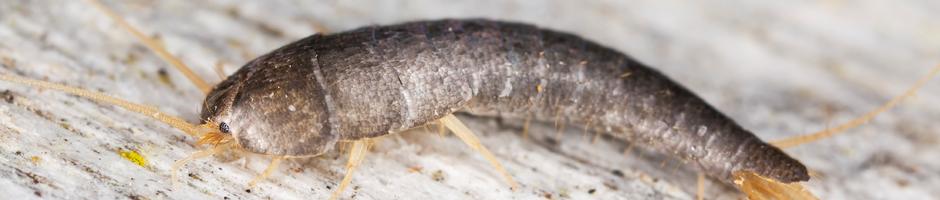 Fleas and Silverfish control, Pest control Langley, Silverfish removal Surrey, Silverfish Control Port Moody