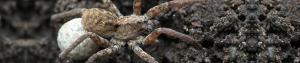wold_spider