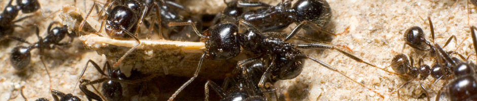 PHARAOH Ants Control by Express Pest Control Service Port Moody, Langley, Surrey, Burnaby, Richmond, Delta and all Vancouver area
