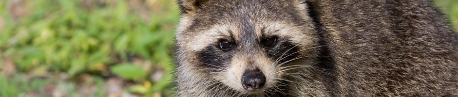 Raccoon Removal Port Moody, Langley, Wildlife Control Service Surrey BC