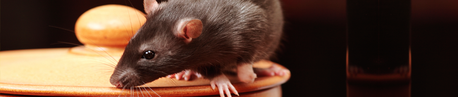 Mice infestation, Rat problem, Mice Control, Mice Extermination & Removal services, Rat Control, Rodent removal service Port Moody, Langley, Vancouver