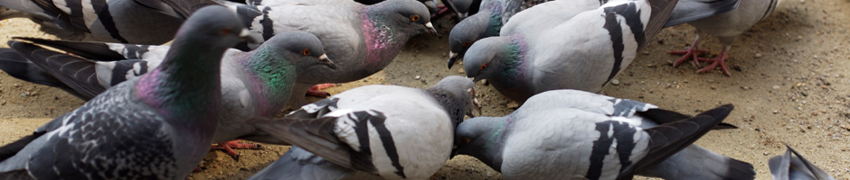 rock_pigeon control service, Rock Pigeon removal Port Moody, Pigeon Control Langley, birds control service in Vancouver